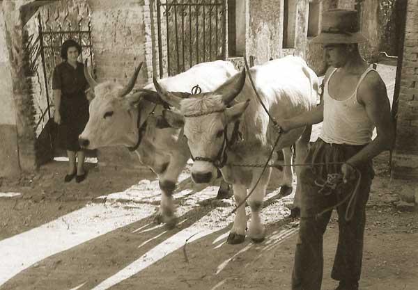 Giuseppe Mazzotti, Contadino con coppia di buoi, anni '50 - FAST Fondo G. Mazzotti